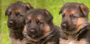 addestrare-un-cucciolo-di-pastore-tedesco