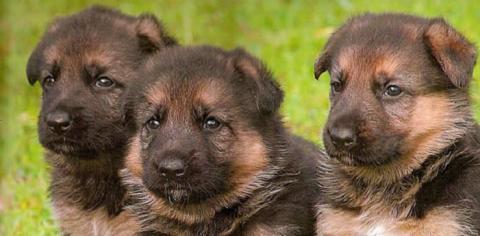Come Addestrare Un Cucciolo Di Pastore Tedesco Addestrare Un Cucciolo