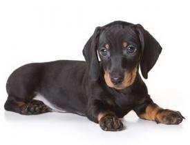 Consigli per educare cucciolo di bassotto in appartamento