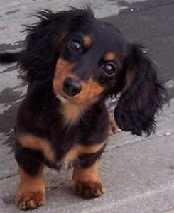 cucciolo-di-bassotto-nano-1
