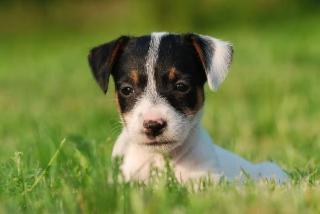 Meglio il bassotto nano o il jack russel terrier?