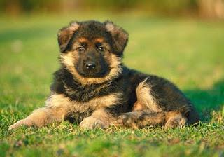 Come addestrare un cucciolo di pastore tedesco