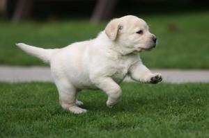 Rassegna speciale su come allevare ed educare i cuccioli di labrador