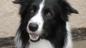 Border Collie, una razza speciale