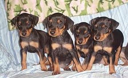 Come addestrare un cucciolo di pinscher addestrare un for Pinscher medio